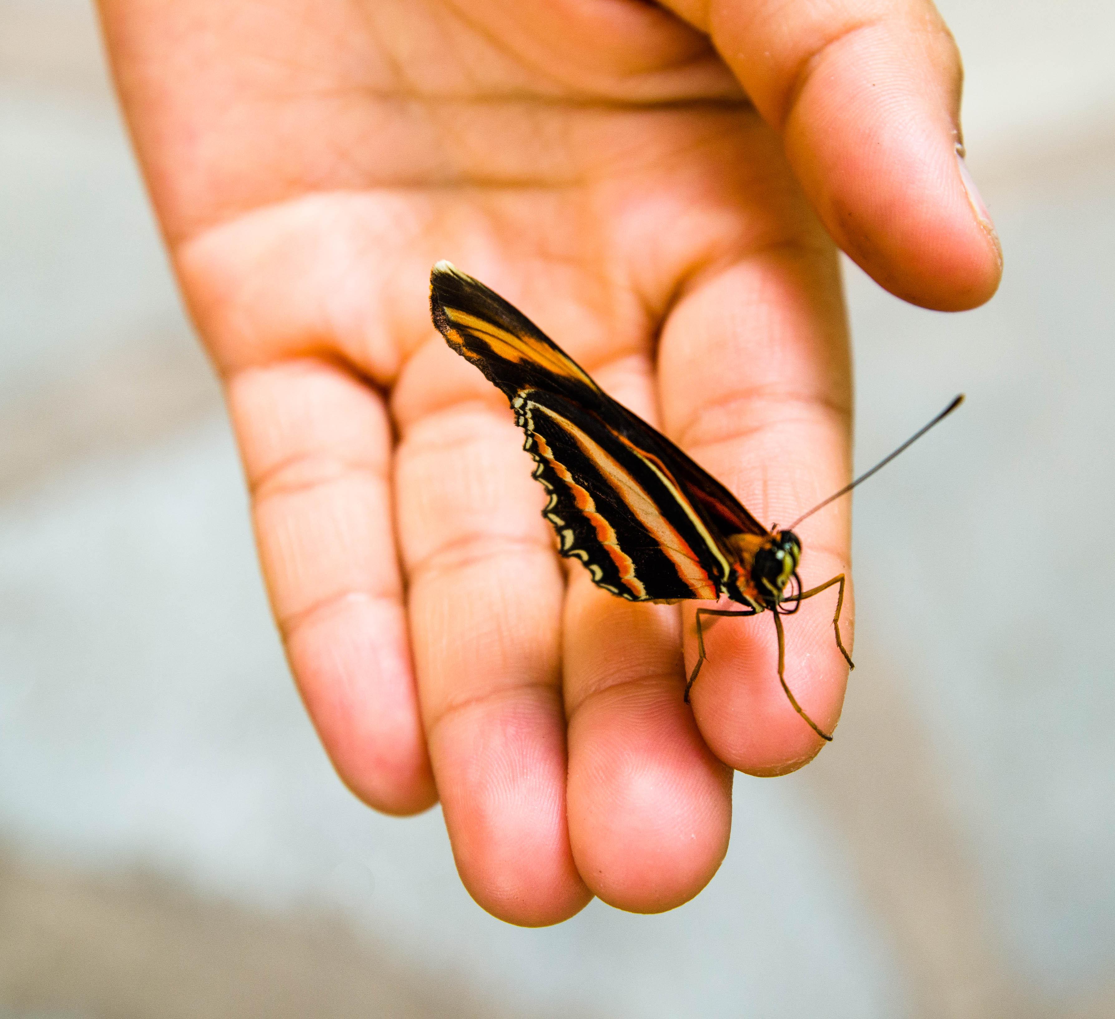En randig fjäril på ett finger