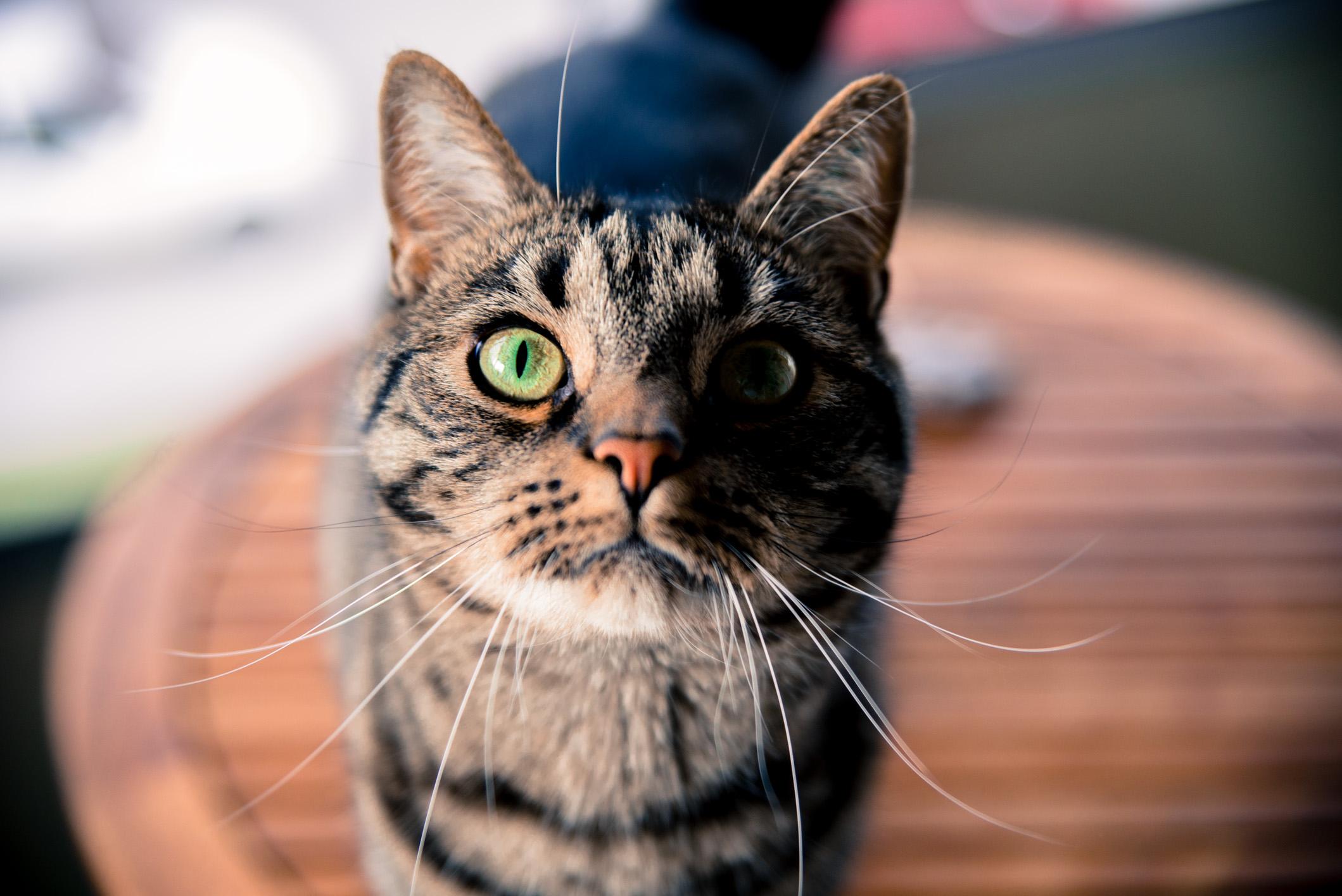 en katt som stirrar