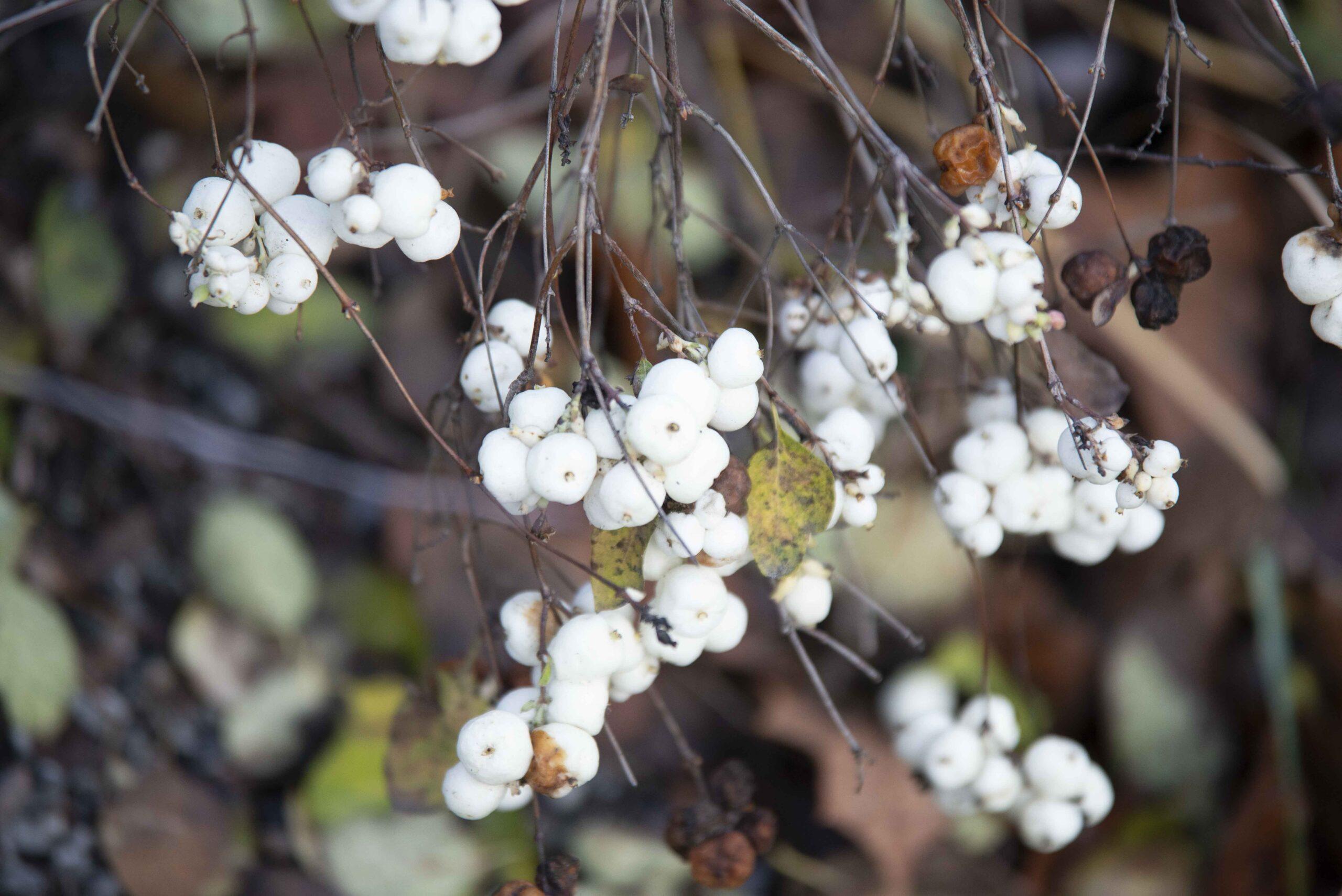höstblomma-vita-bollar-på-buske